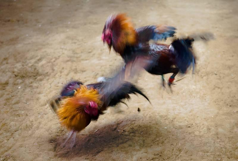 S128 Tempat Untuk Sabung Ayam Terbaik